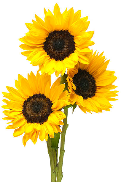 sunflowers in bundle isolated on white - sunflower stok fotoğraflar ve resimler