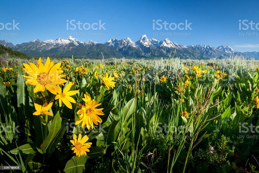 Sunflowers in Grand Teton National park stock photo