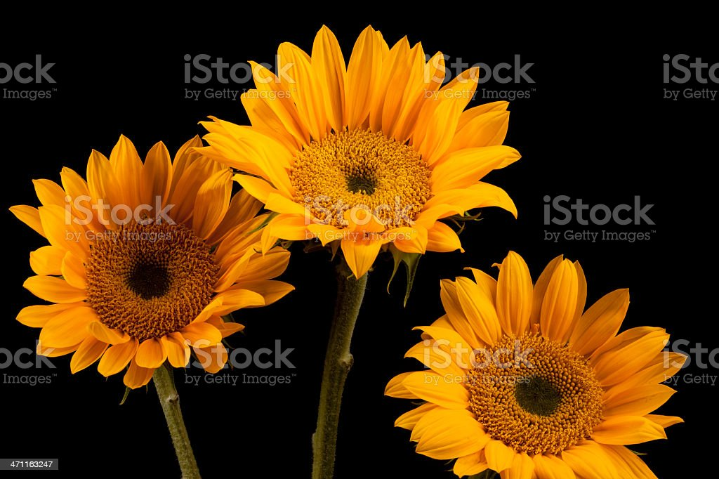 Sunflowers in Group, Flowers, Isolated Object, Vivid-Color, Black-Background, Spring, Close-Up royalty-free stock photo