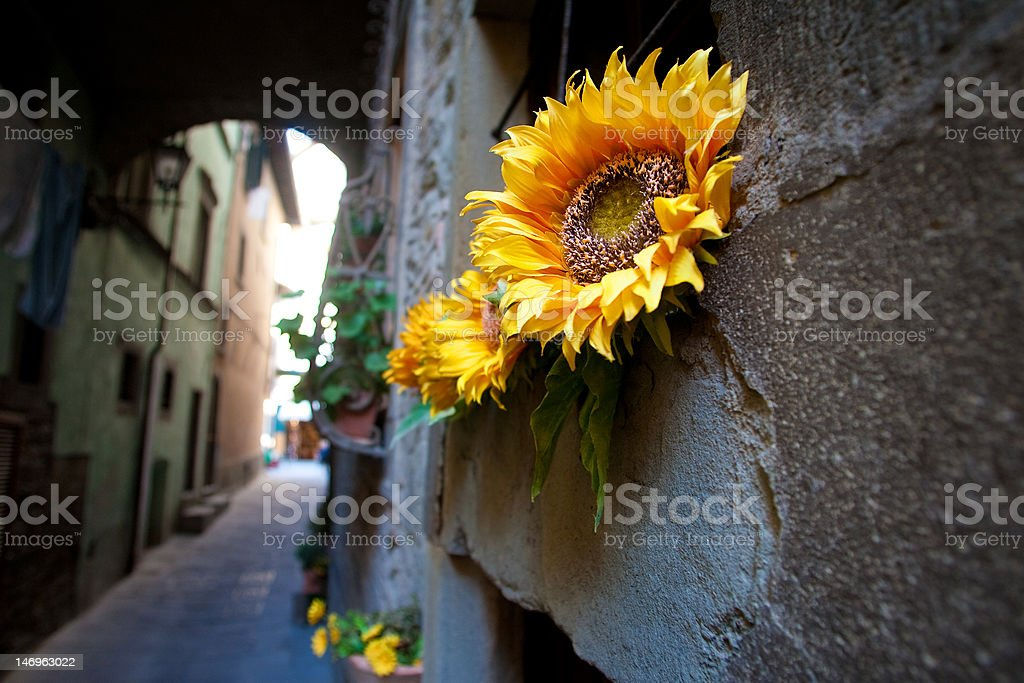 Sunflowers in Italy stock photo