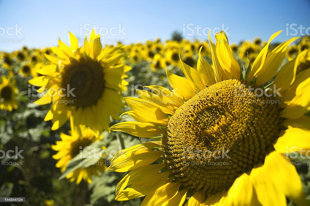 Sunflowers in Kansas royalty-free stock photo