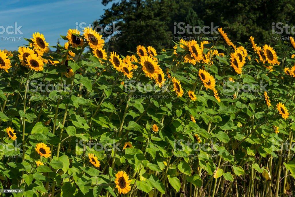 Sonnenblumen im Spätsommer – Foto