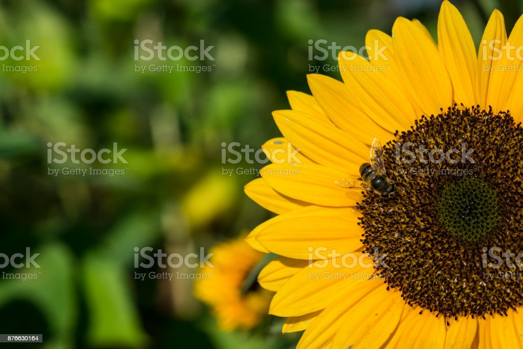 Sunflowers in late summer with a honeybee stock photo