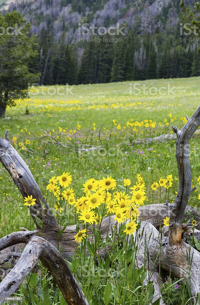 Sunflowers in Meadow royalty-free stock photo