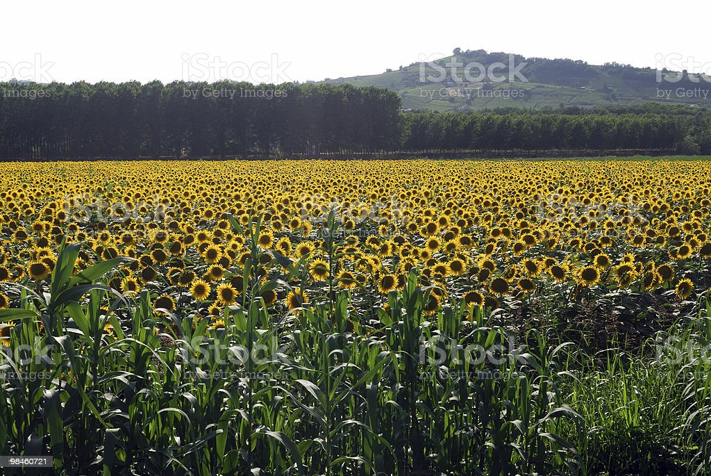 Sunflowers in Piedmont (Italy) near Acqui terme royalty-free stock photo