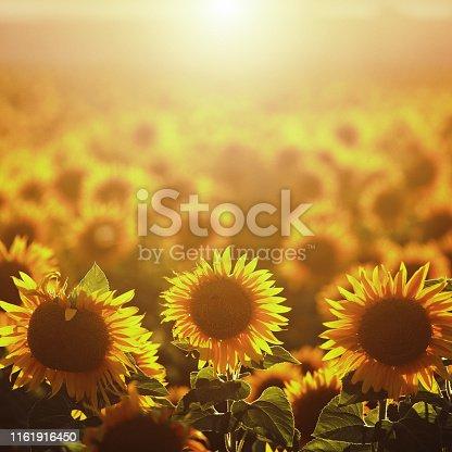 Sunset at the sunflower plantation