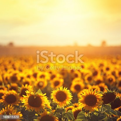 sunflower field in Provence, Plateu de Valensole