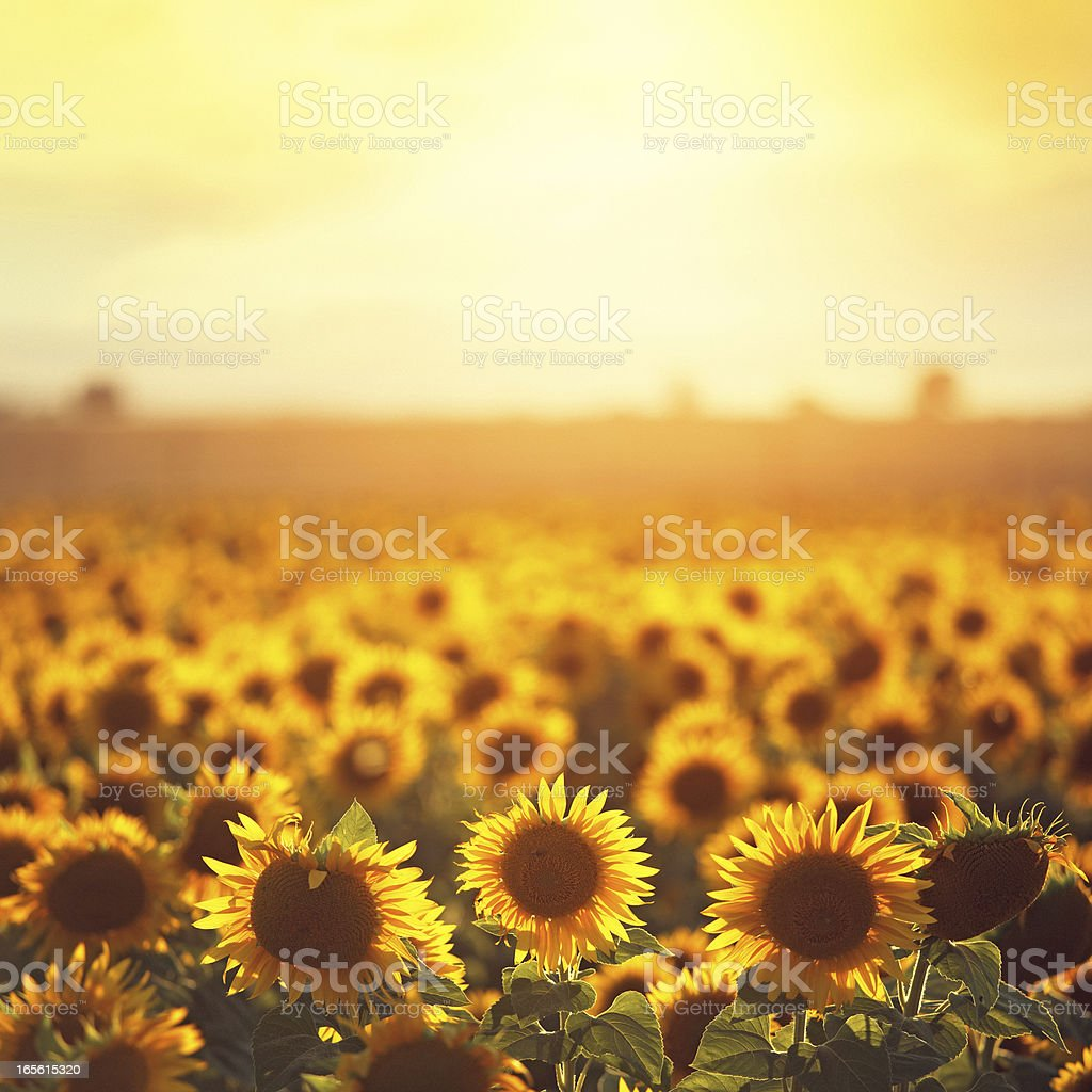 sunflowers in Provence stock photo