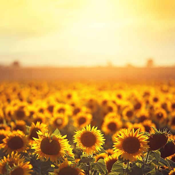 sonnenblumen in der provence - sonnenblume stock-fotos und bilder