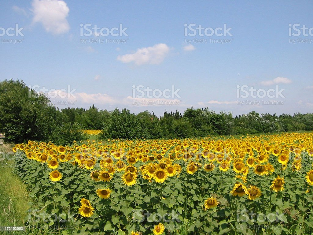 Sunflowers in Provence royalty-free stock photo