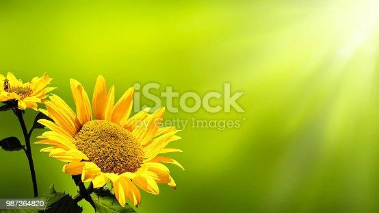 sunshine on sunflowers