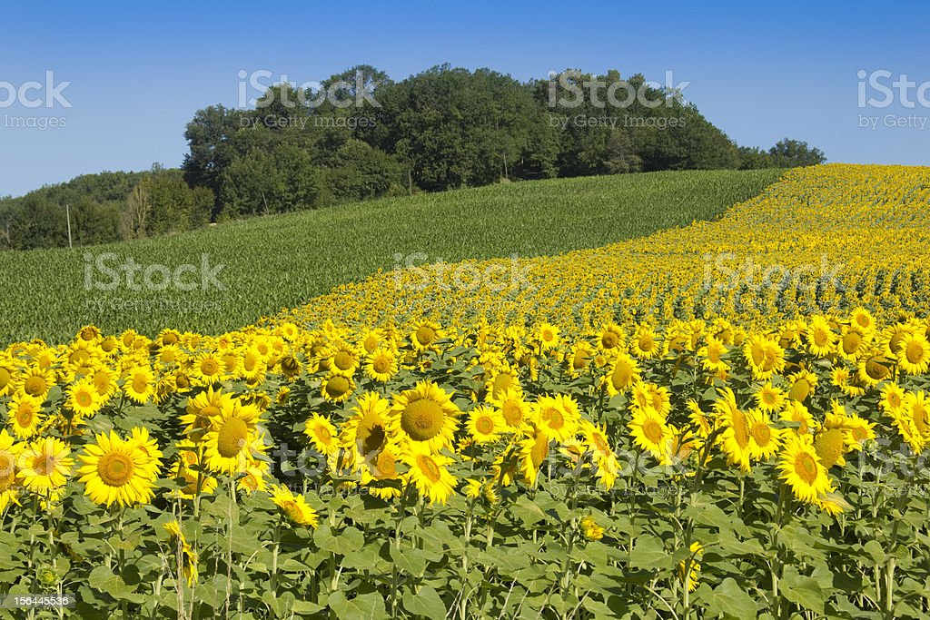 Sunflowers in sunshine royalty-free stock photo
