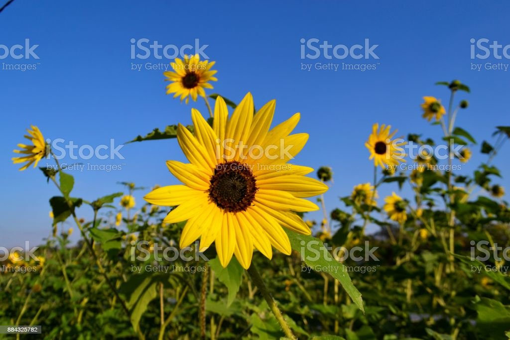 Sunflowers in Texas stock photo