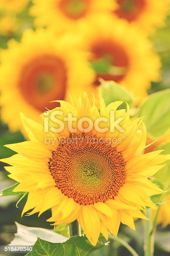 Sunflower plants in the fields. Shallow DOF. Developed from RAW; retouched with special care and attention; Small amount of grain added for best final impression.16 bit Adobe RGB color profile.