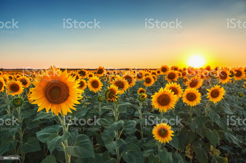 Sunflowers in the fields during sunset stock photo