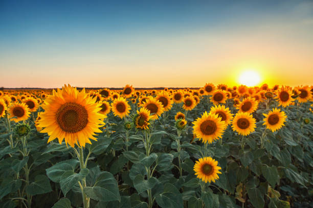 sunflowers in the fields during sunset - sonnenblume stock-fotos und bilder
