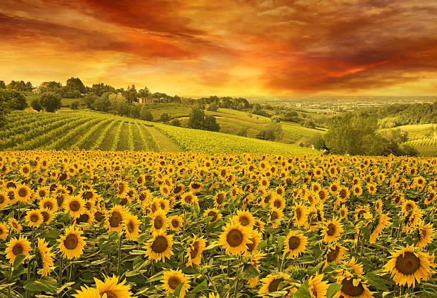 sunflowers in the italian hill at sunset - sonnenblume stock-fotos und bilder