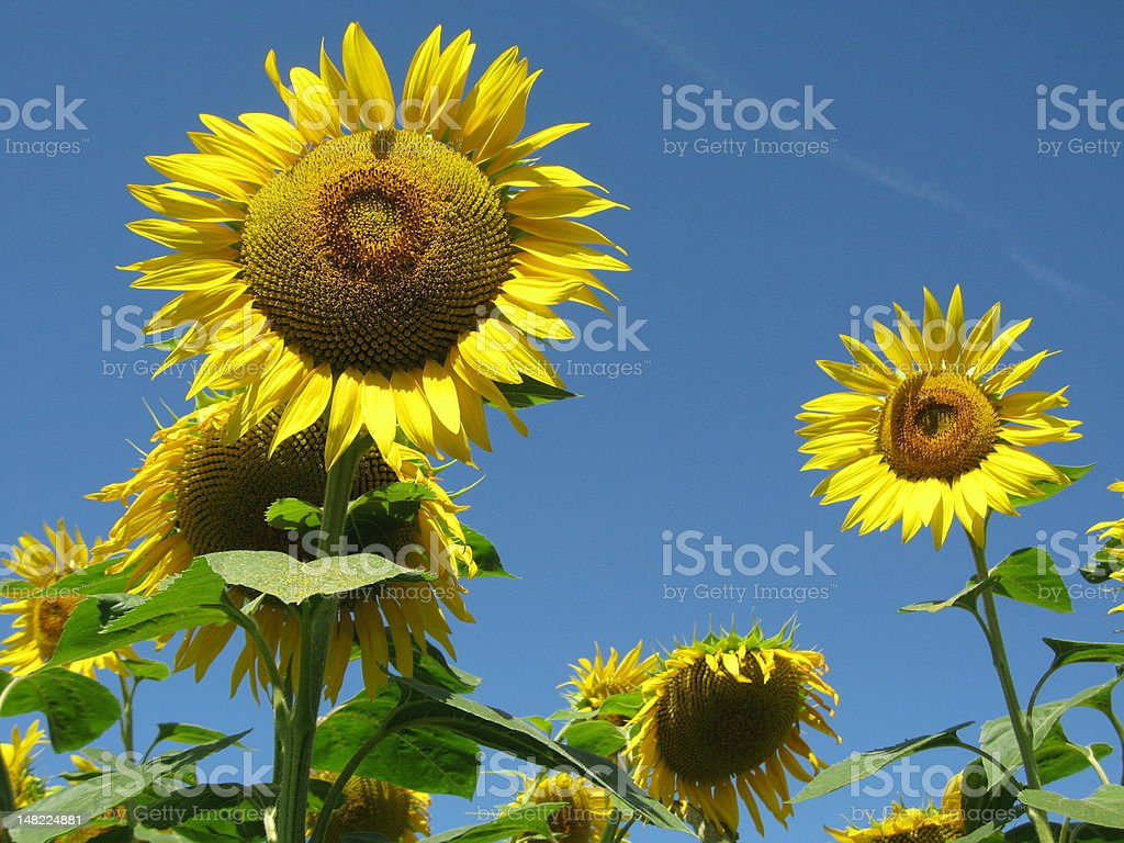 Sunflowers in the summer sky stock photo
