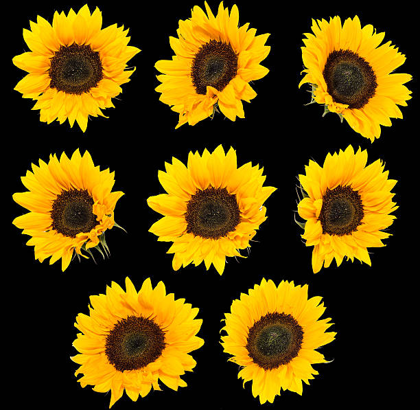 931 Sunflower Black Background Stock Photos Pictures Royalty Free Images Istock