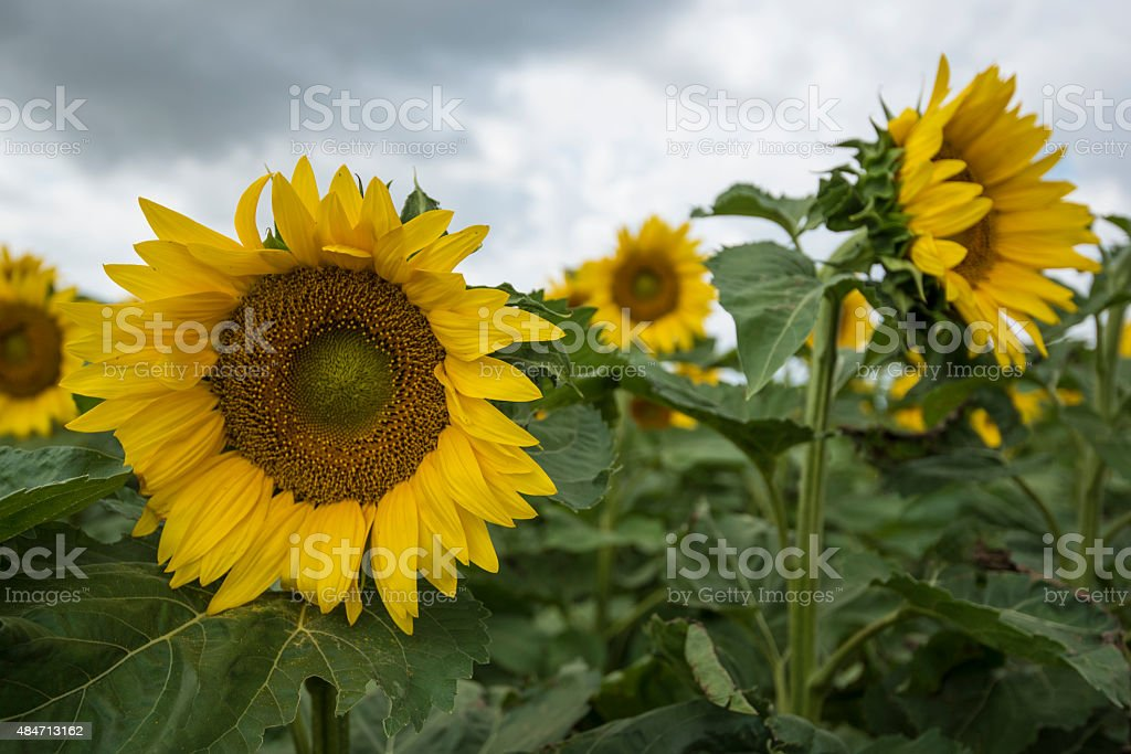 Sunflowers looming stock photo