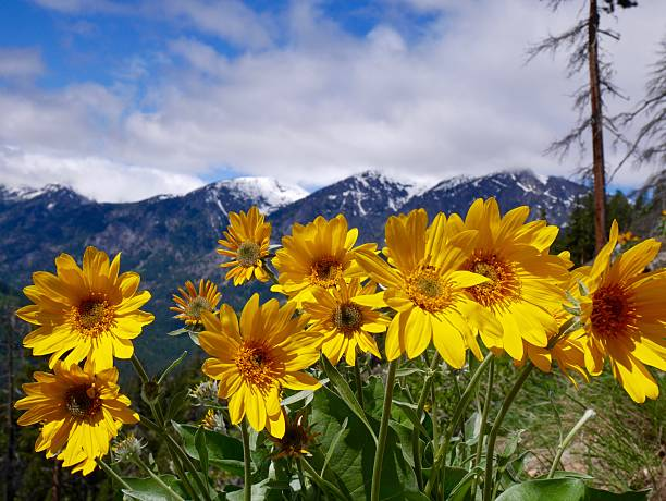 Sunflowers, Mountains, Blue Sky and Clouds. stock photo