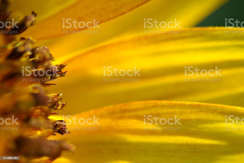 Sunflowers never cease to please stock photo
