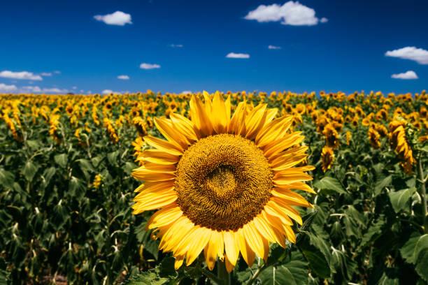 Sunflowers nobby queensland picture id906588492?b=1&k=6&m=906588492&s=612x612&w=0&h=sbk7xzxpqcnhvj901xqlw8vwetc3ealk8e xcvdq4ji=