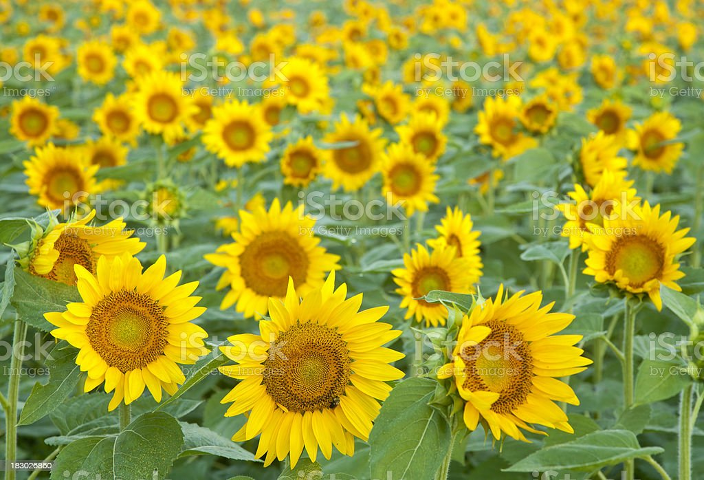 Sunflowers of Bright Yellow Standing Tall in Large Field stock photo
