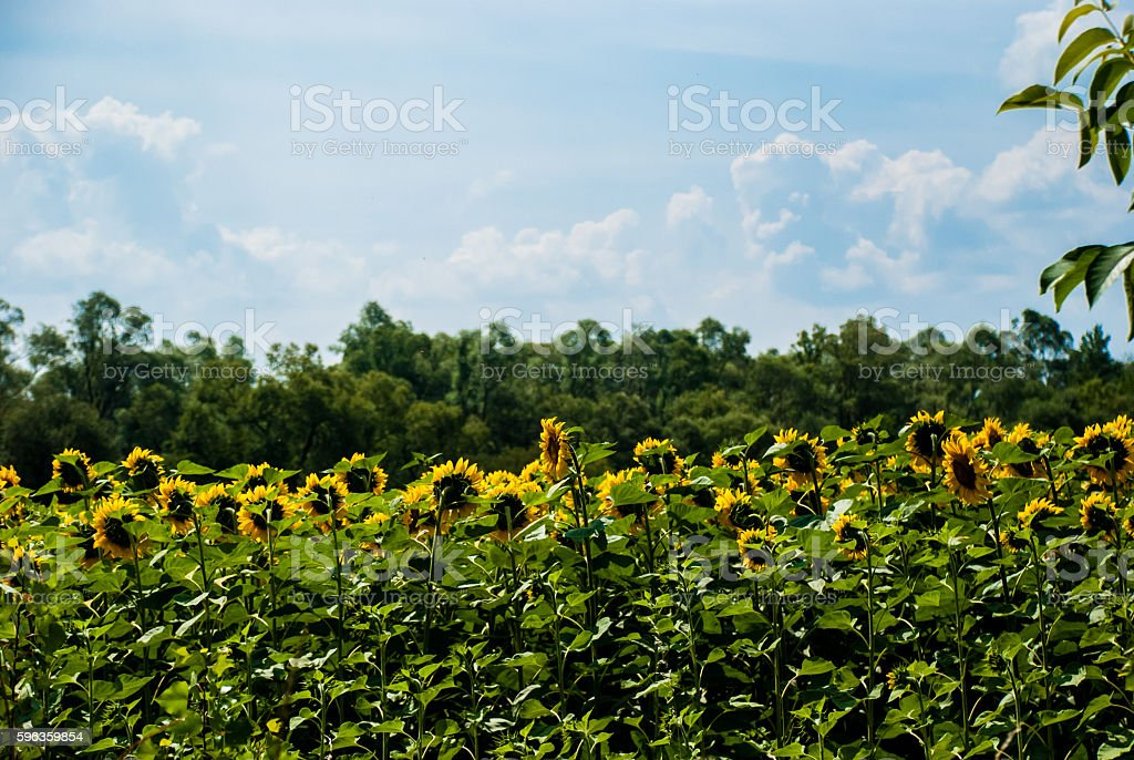 Sunflowers on a background of green trees and blue sky royalty-free stock photo