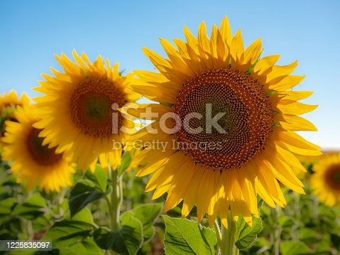 Sunflowers on a summer day