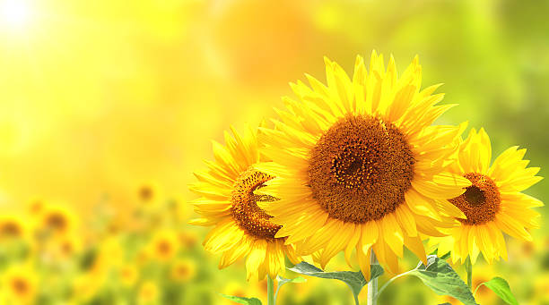 sunflowers on blurred sunny background - sunflower stok fotoğraflar ve resimler