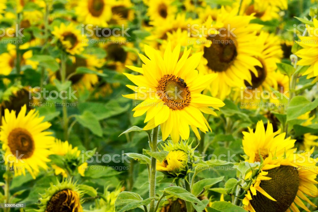 Sunflowers on blurred sunny background stock photo