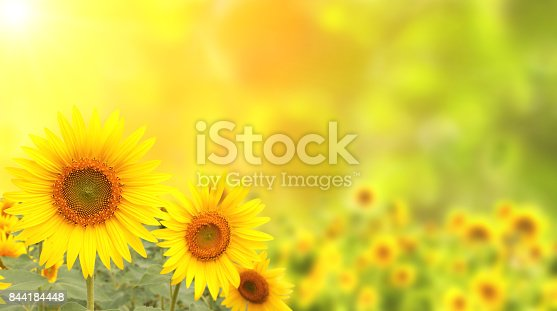 Three bright yellow sunflowers on blurred sunny background of green color