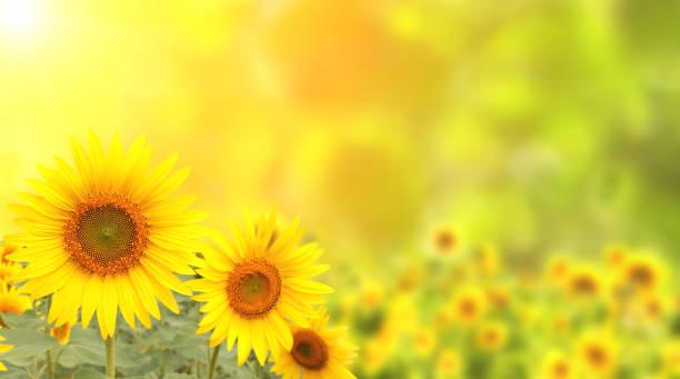 sonnenblumen auf verschwommene sonnigen hintergrund - sonnenblume stock-fotos und bilder