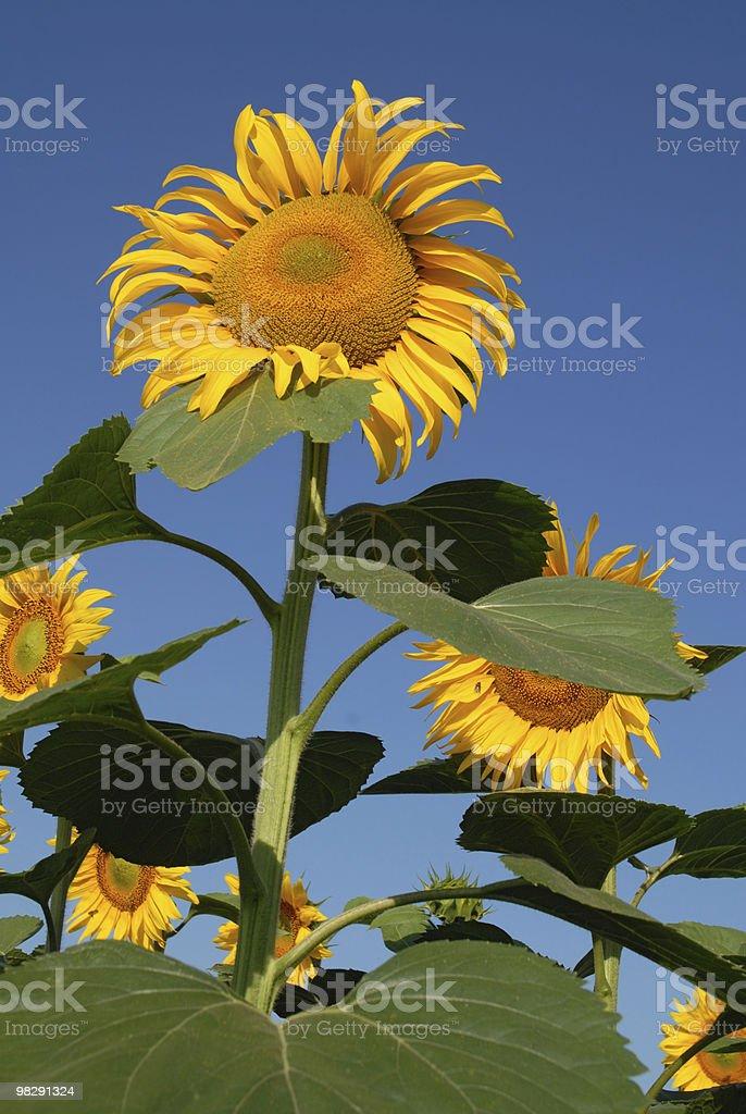 Sunflowers on sky royalty-free stock photo