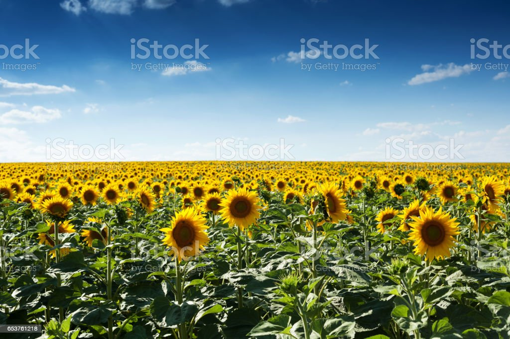 Sunflowers on the field stock photo