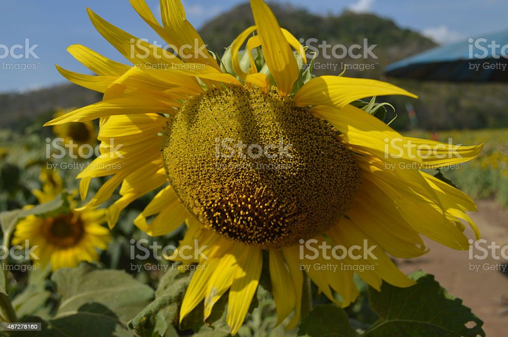 Sunflowers on the sunny day stock photo