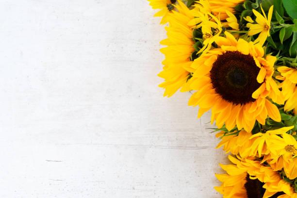 sonnenblumen auf weiß - sonnenblume stock-fotos und bilder