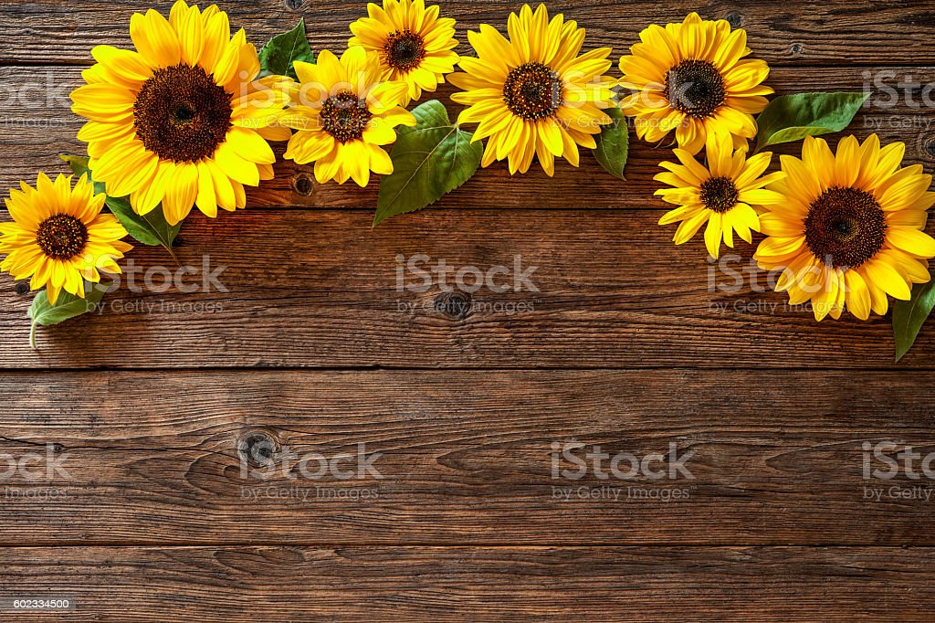 royalty free sunflower background pictures images and