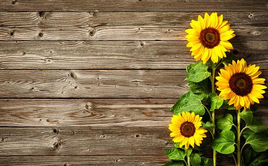 istock sunflowers on wooden board 695971474
