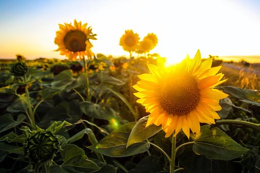 Beautiful sunflower field sunset.