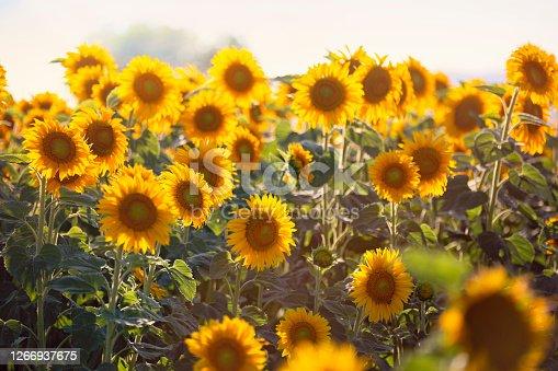A beautiful sunflowers.
