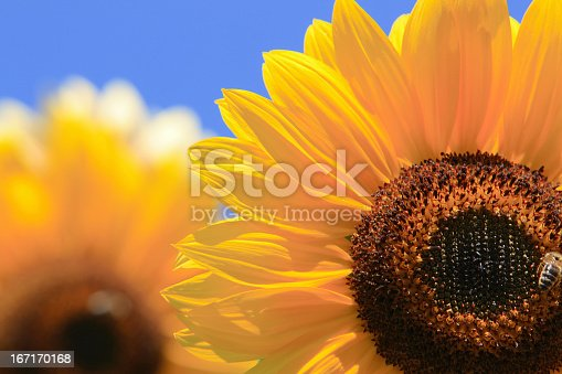 Sunflowers with clear blue sky in background