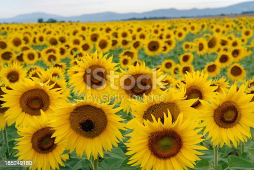 A filed of Sunflowers in ProvenceFrance
