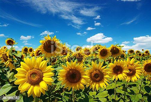 sunflowers field on cloudy blue sky