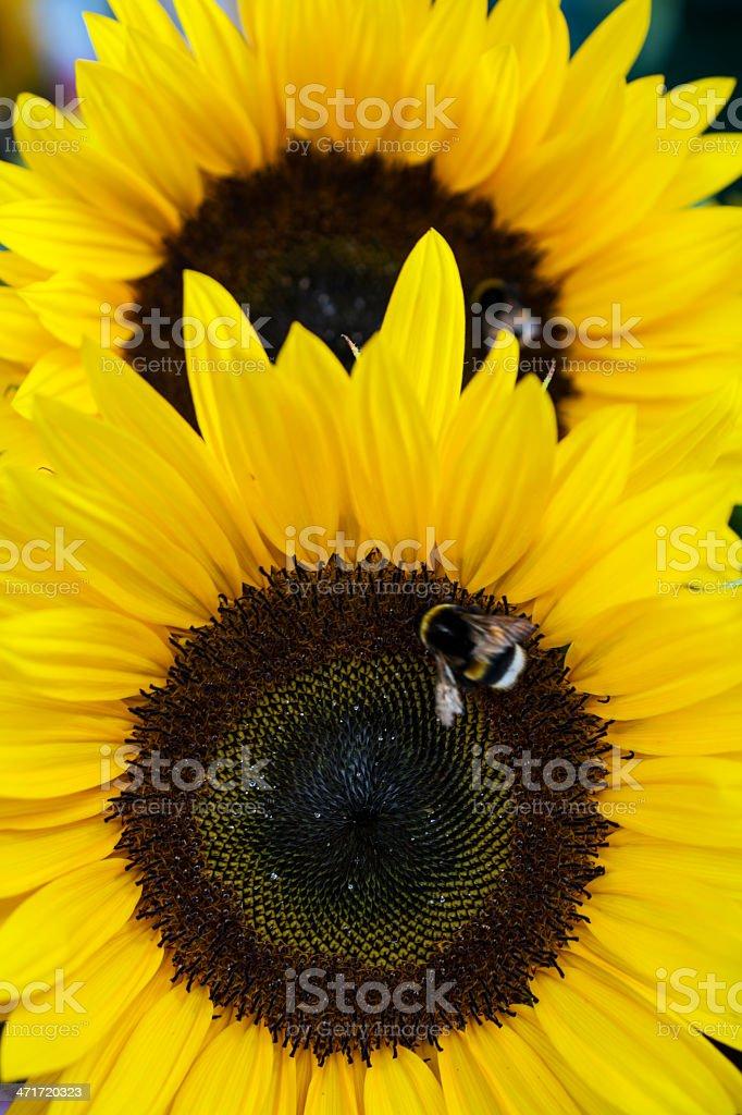 Sunflowers (shallow DOF) royalty-free stock photo