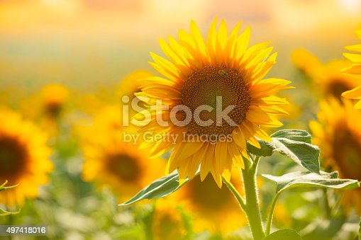 field with sunflowers in summer