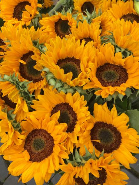 Sunflowers picture id667458648?b=1&k=6&m=667458648&s=612x612&w=0&h=a7gdhw cotcy9nvanm6lj4v1jigzpxplkkba1q8dkrk=