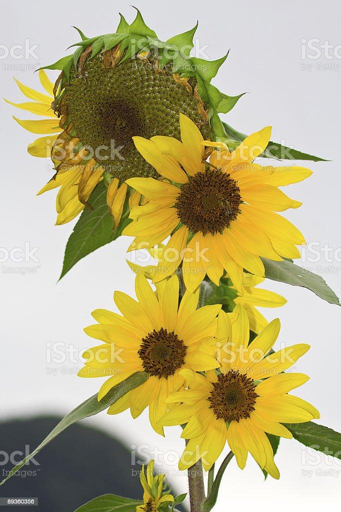 Sunflowers zbiór zdjęć royalty-free