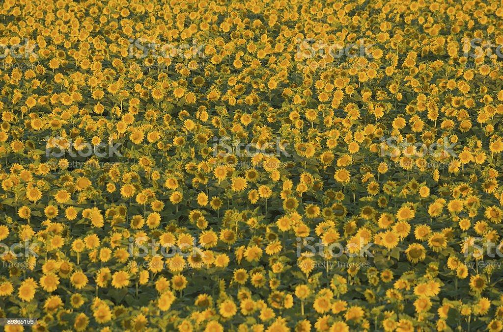Sunflowers royalty free stockfoto